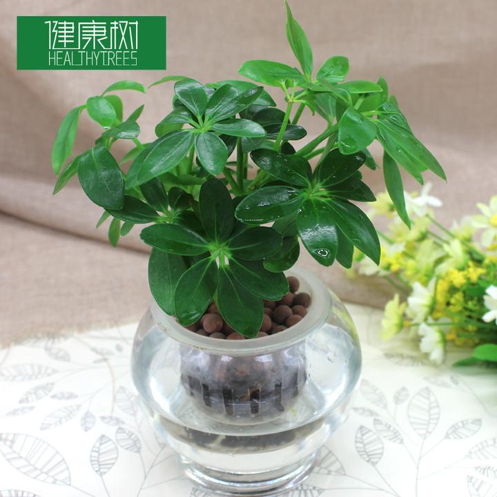 水培鸭脚木植物盆栽