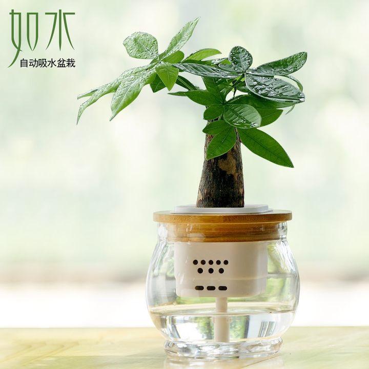 如水好养盆栽-发财树(晶莹玻璃
