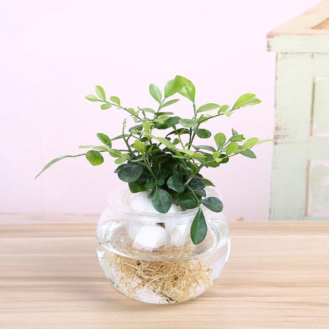 绿萝栀子花玻璃瓶水培植物